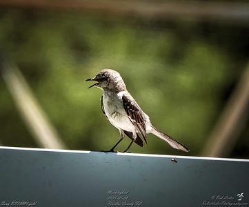 018_mockingbird_20210508