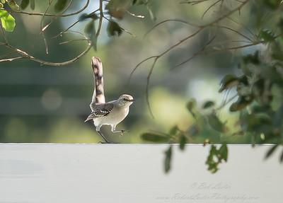 2018-10-31_PA310006_ 40x150 mockingbird