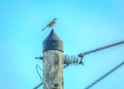 _A290194_ mockingbird_ detailednr0