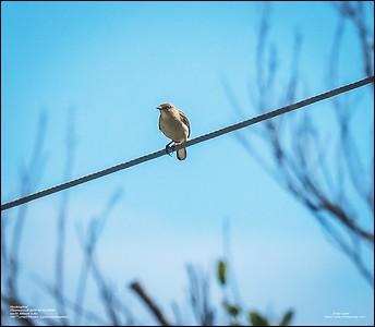 P6120190_Mockingbird