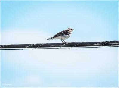 P6120163_Mockingbird