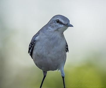 Mockingbird--