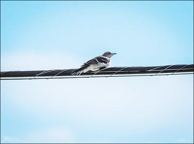 P6120160_Mockingbird