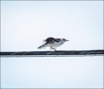 P6120176_Mockingbird