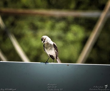 012_mockingbird_20210508