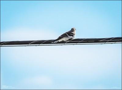 P6120161_Mockingbird