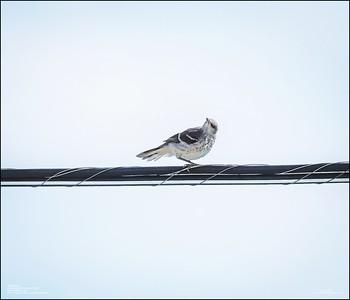 P6120175_Mockingbird