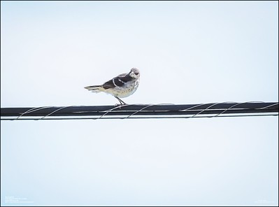 P6120172_Mockingbird