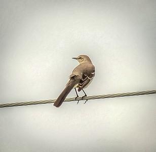 2018-11-05_PB050045_ 300  mockingbird