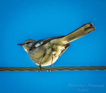 Mockingbird,Clearwater,Fl,ATH  2018-01-26-1260024