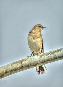 PA190021_mockingbird_painterly,nr50