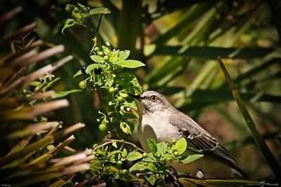 rx10_019_mockingbird_20210220