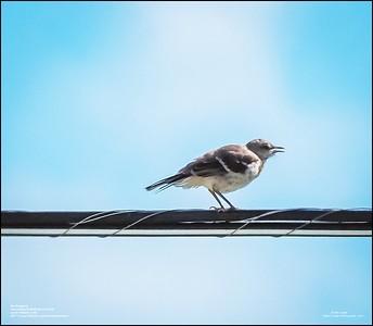 P6120195_Mockingbird