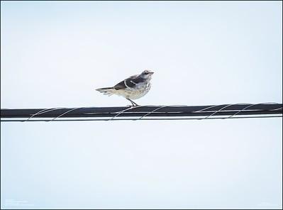 P6120170_Mockingbird