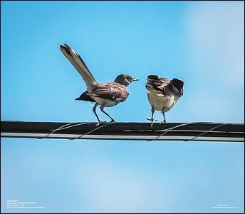 P6120191_Mockingbird