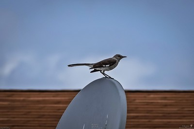 001_mockingbird_2021-05-20