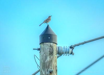 _A290193_ mockingbird_ detailednr0