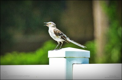 P8010003_mockingbird