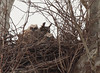 Great Horned Owl with two owlets in nest<br /> Occoquan Bay National Wildlife Refuge, March 21, 2010