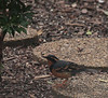Varied Thrush<br /> Herndon, VA