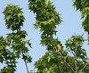 Yellow-breasted Chat found high in tree-top