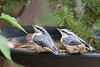 Baby Nuthatches