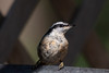 Baby Nuthatch