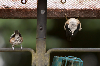 Nuthatch with others