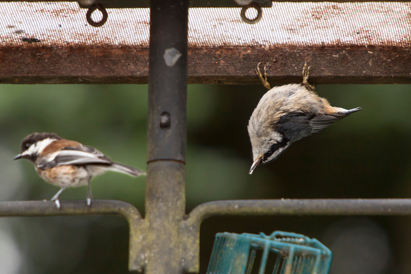 Red-breasted Nuthatch (fledgling) and Chestnut-backed Chickadee are playing opposites