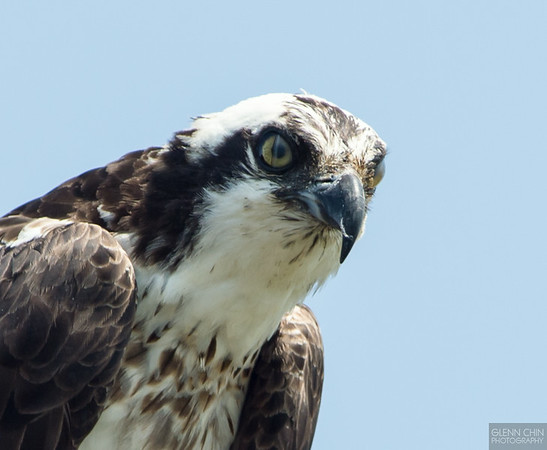 "The nictitating membrane or ""third eyelid"" of the osprey can be seen here."
