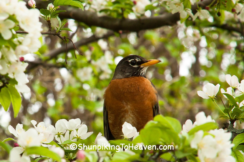 American Robin, Olbrich Botanical Gardens, Madison, Wisconsin