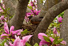 Robin Nest in Magnolia Tree, Longenecker Gardens, Madison, Wisconsin