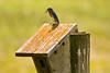 Bluebird Feeding Young, Sauk County, Wisconsin