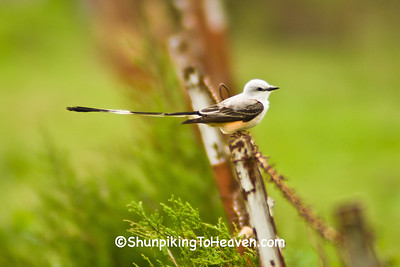 Scissor-tailed Flycatcher, Crawford County, Arkansas