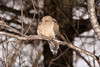 Mourning Dove, Sauk County, Wisconsin