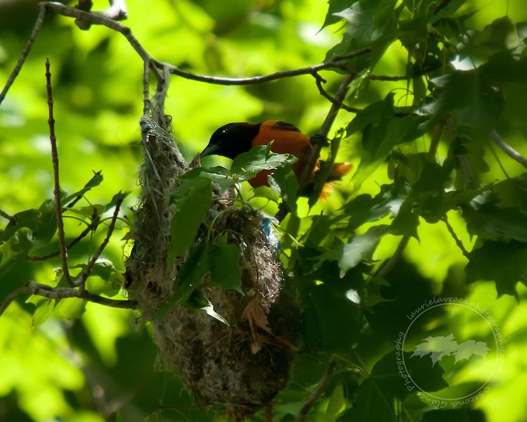 Oriole family June 2011 #3 - Male oriole feeding chicks