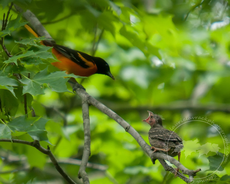 Oriole family June 2011 #2-  one chick had come up out of the nest to be the first at getting a bite to eat.