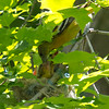 Oriole family June 2014 #2