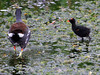 Common Gallinule (Moorhen) with chick