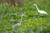 Great Blue Heron with a Great Egret