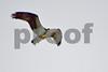 DSC_7698 Osprey w Catfish
