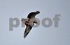 DSC_7703 Osprey w Catfish