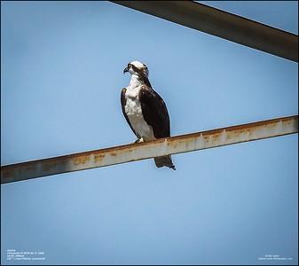 P6110143_osprey