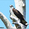 Mar 10,2013_IMG_1345_Osprey_Honeymoon Isl_JPG