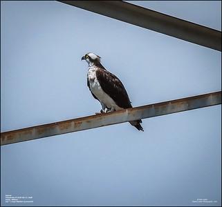 P6110127_osprey