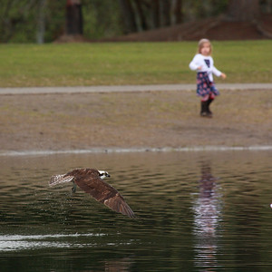 An osprey with a little girl for scale in the background. Klineline Park, Vancouver WA  Print size 5 x 7 $14.00 USD 8 x 10 $20.00 USD 8 x 12 $20.00 USD 11 x 14 $28.00 USD 12 x 18 $35.00 USD 16 x 20 $50.00 USD