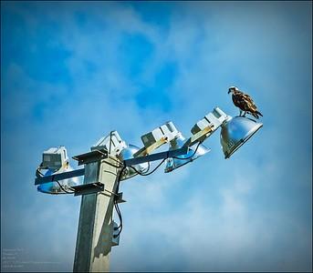 osprey...2020-08-04...Hammock Park