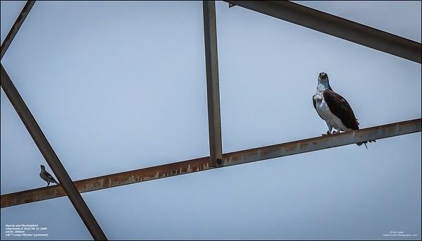 P6110119_osprey
