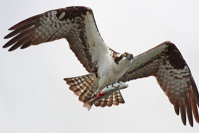 An osprey with a fresh catch straight off a fisherman's line. Klineline pond, Vancouver, WA.  Print size 5 x 7 $14.00 USD 8 x 10 $20.00 USD 8 x 12 $20.00 USD 11 x 14 $28.00 USD 12 x 18 $35.00 USD 16 x 20 $50.00 USD