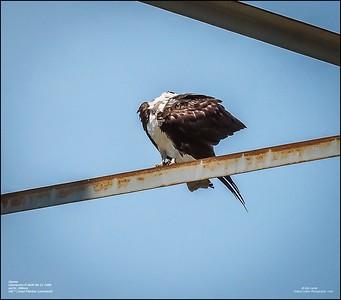 P6110138_osprey